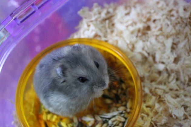 ハムスターに与えるべき餌の量と餌の種類