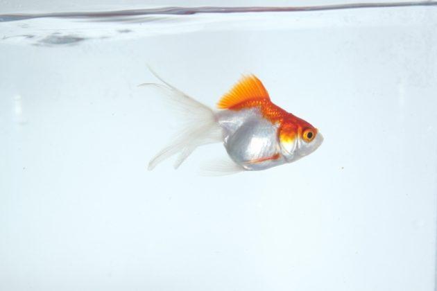 金魚のエサの種類や与え方、その頻度