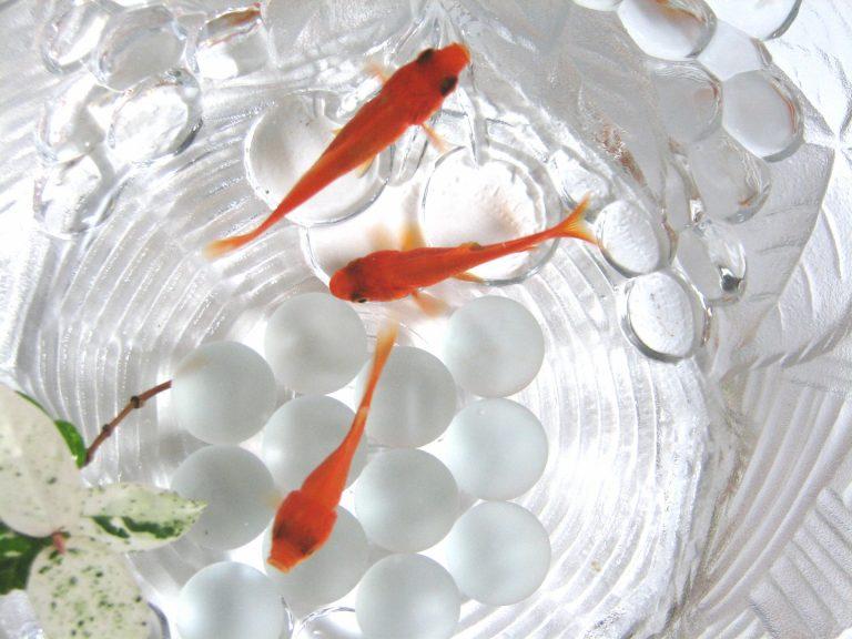 金魚の飼育に適した水温は何度?