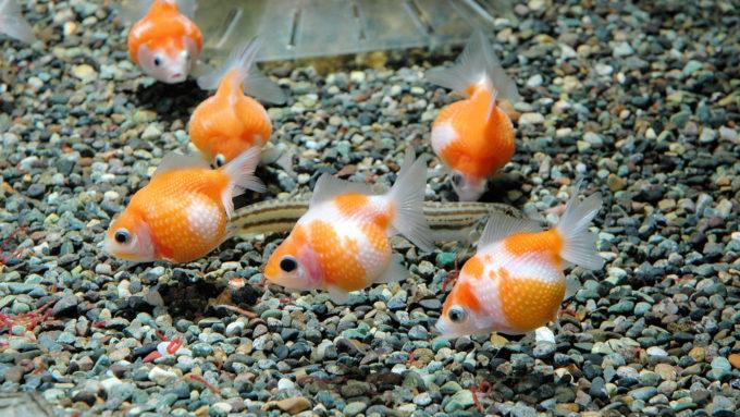 ピンポンパールと他魚との混泳