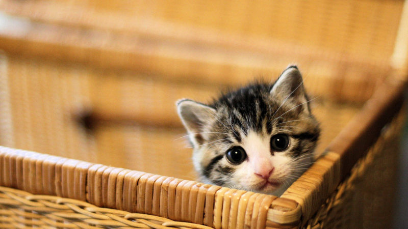 生後2ヵ月位から子猫用のドライフードに変えて与える